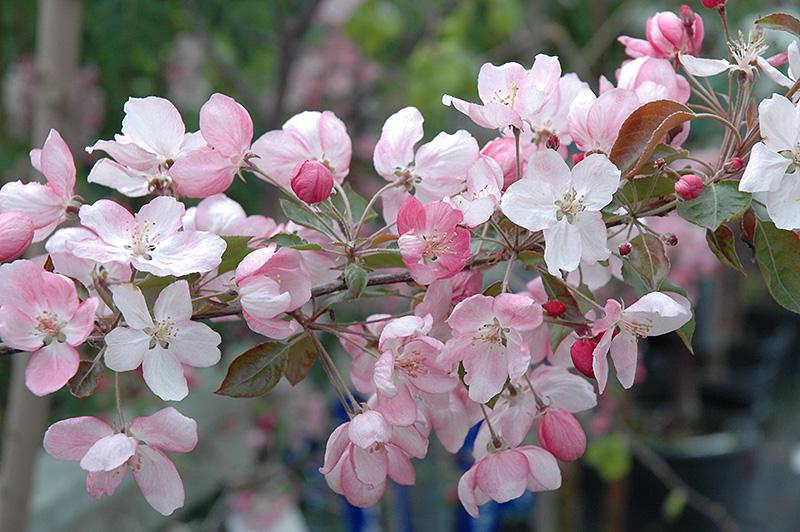 Pink Spires Flowering Crab Malus Pink Spires In