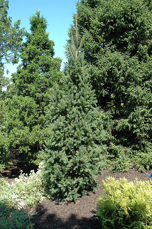 Columnar Norway Spruce (Picea abies 'Cupressina') in Edmonton Sherwood Park Fort ...