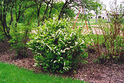 Nippon Spirea (Spiraea nipponica) at Salisbury Greenhouse and Landscaping