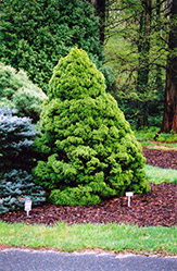 Dwarf Alberta Spruce (Picea glauca 'Conica') at Salisbury Greenhouse and Landscaping