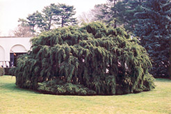 Weeping Hemlock (Tsuga canadensis 'Pendula') at Salisbury Greenhouse and Landscaping