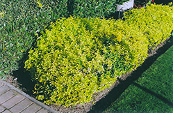 Gold Prince Wintercreeper (Euonymus fortunei 'Gold Prince') at Salisbury Greenhouse and Landscaping