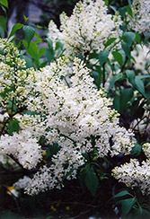 Mount Baker Lilac (Syringa x hyacinthiflora 'Mount Baker') at Salisbury Greenhouse and Landscaping