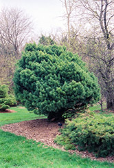 Waterer Scotch Pine (Pinus sylvestris 'Watereri') at Salisbury Greenhouse and Landscaping