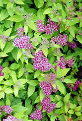 Dakota Goldcharm Spirea (Spiraea japonica 'Mertyann') at Salisbury Greenhouse and Landscaping
