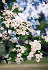 Snowbird Hawthorn (Crataegus x mordenensis 'Snowbird') at Salisbury Greenhouse and Landscaping