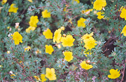 Yellow Gem Potentilla (Potentilla fruticosa 'Yellow Gem') at Salisbury Greenhouse and Landscaping