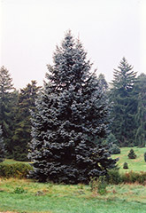 Hoopsii Blue Spruce (Picea pungens 'Hoopsii') at Salisbury Greenhouse and Landscaping