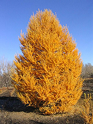 Oasis Siberian Larch (Larix sibirica 'Durcarl') at Salisbury Greenhouse and Landscaping