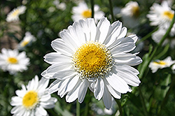 Sunny Side Up Shasta Daisy (Leucanthemum x superbum 'Sunny Side Up') at Salisbury Greenhouse and Landscaping