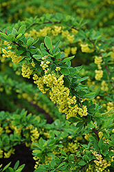 Emerald Carousel Barberry (Berberis 'Tara') at Salisbury Greenhouse and Landscaping