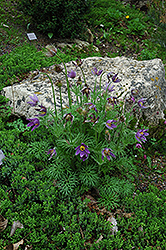 Pasqueflower (Pulsatilla vulgaris) at Salisbury Greenhouse and Landscaping