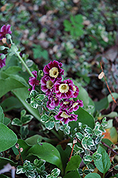 Siebold Primrose (Primula x auricula 'Sieboldii') at Salisbury Greenhouse and Landscaping