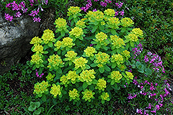 Cushion Spurge (Euphorbia polychroma) at Salisbury Greenhouse and Landscaping