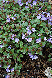 Waterperry Blue Speedwell (Veronica 'Waterperry Blue') at Salisbury Greenhouse and Landscaping