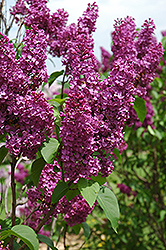 Ludwig Spaeth Lilac (Syringa vulgaris 'Ludwig Spaeth') at Salisbury Greenhouse and Landscaping