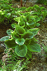 Frances Williams Hosta (Hosta 'Frances Williams') at Salisbury Greenhouse and Landscaping