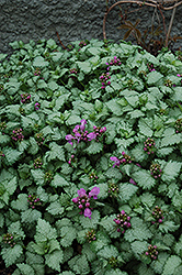 Red Nancy Spotted Dead Nettle (Lamium maculatum 'Red Nancy') at Salisbury Greenhouse and Landscaping