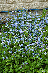 Forget-Me-Not (Myosotis sylvatica) at Salisbury Greenhouse and Landscaping