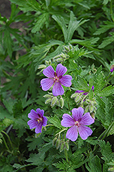 Showy Cranesbill (Geranium magnificum) at Salisbury Greenhouse and Landscaping