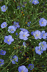 Perennial Flax (Linum perenne) at Salisbury Greenhouse and Landscaping