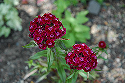 Sweet William (Dianthus barbatus) at Salisbury Greenhouse and Landscaping