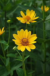 False Sunflower (Heliopsis helianthoides) at Salisbury Greenhouse and Landscaping