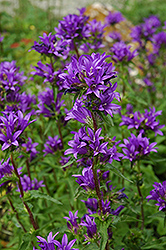 Clustered Bellflower (Campanula glomerata) at Salisbury Greenhouse and Landscaping