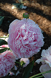 Shirley Temple Peony (Paeonia 'Shirley Temple') at Salisbury Greenhouse and Landscaping