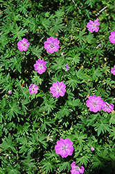 Bloody Cranesbill (Geranium sanguineum) at Salisbury Greenhouse and Landscaping