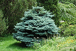 Globe Blue Spruce (Picea pungens 'Globosa') at Salisbury Greenhouse and Landscaping