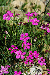 Alpine Pinks (Dianthus alpinus) at Salisbury Greenhouse and Landscaping