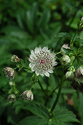 Great Masterwort (Astrantia major) at Salisbury Greenhouse and Landscaping