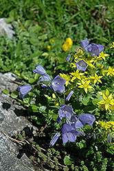 Creeping Bellflower (Campanula cochleariifolia) at Salisbury Greenhouse and Landscaping