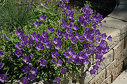 Blue Clips Bellflower (Campanula carpatica 'Blue Clips') at Salisbury Greenhouse and Landscaping