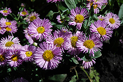 Pink Jewel Fleabane (Erigeron 'Pink Jewel') at Salisbury Greenhouse and Landscaping