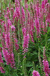 Red Fox Speedwell (Veronica spicata 'Red Fox') at Salisbury Greenhouse and Landscaping