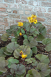 Britt Marie Crawford Rayflower (Ligularia dentata 'Britt Marie Crawford') at Salisbury Greenhouse and Landscaping