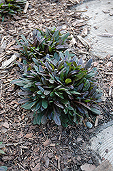 Chocolate Chip Bugleweed (Ajuga reptans 'Chocolate Chip') at Salisbury Greenhouse and Landscaping