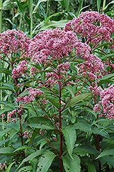 Joe Pye Weed (Eupatorium maculatum) at Salisbury Greenhouse and Landscaping