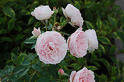 Morden Blush Rose (Rosa 'Morden Blush') at Salisbury Greenhouse and Landscaping