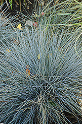 Blue Fescue (Festuca glauca) at Salisbury Greenhouse and Landscaping