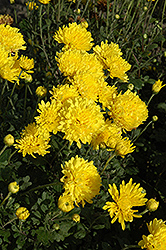 Suncatcher Chrysanthemum (Chrysanthemum 'Suncatcher') at Salisbury Greenhouse and Landscaping