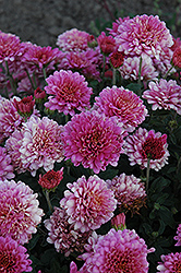 Showbiz Chrysanthemum (Chrysanthemum 'Showbiz') at Salisbury Greenhouse and Landscaping