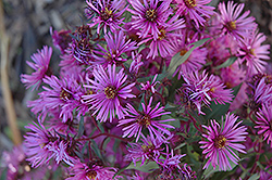 Woods Pink Aster (Aster 'Woods Pink') at Salisbury Greenhouse and Landscaping