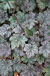 Frosted Violet Coral Bells (Heuchera 'Frosted Violet') at Salisbury Greenhouse and Landscaping