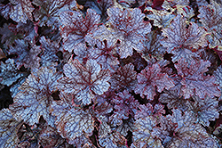 Plum Pudding Coral Bells (Heuchera 'Plum Pudding') at Salisbury Greenhouse and Landscaping