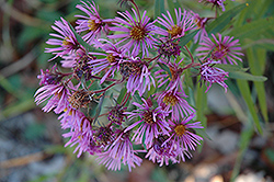 New England Aster (Aster novae-angliae) at Salisbury Greenhouse and Landscaping