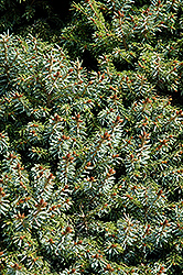 Dwarf Serbian Spruce (Picea omorika 'Nana') at Salisbury Greenhouse and Landscaping