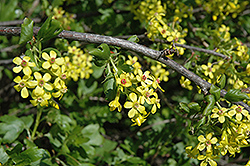Golden Flowering Currant (Ribes aureum) at Salisbury Greenhouse and Landscaping